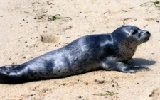 photo of a seal on one of the Cape Cod beaches in North Truro